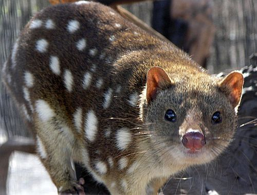 Australian Spotted Quoll