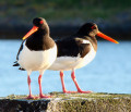 The Oystercatcher  { Birds of Europe }