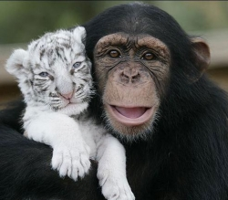 Chimpanzee and friend