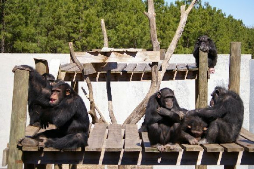 Happy group of chimpanzees in Chimp Haven