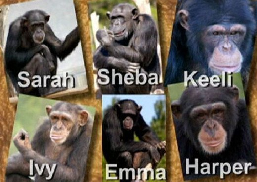 All the chimps in Chimp Haven