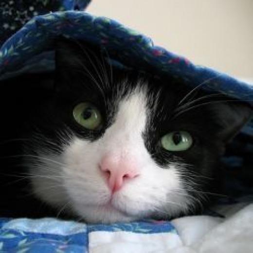 Are Tuxedo cats smarter?