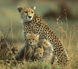 Cheetah family in fear of being turned into fur coats