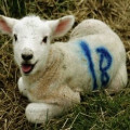 Veganism: What's Wrong with Wool?