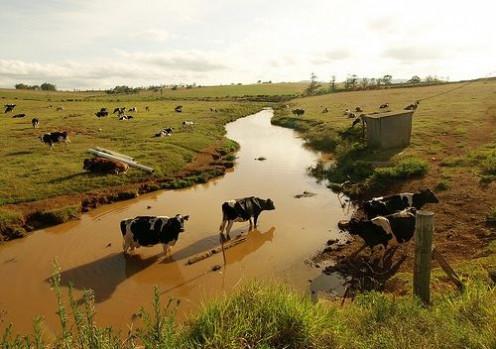 Cattle in farm water