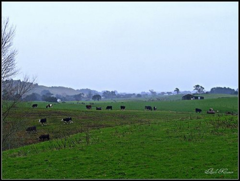 Deforestation results from lots of grazing cattle