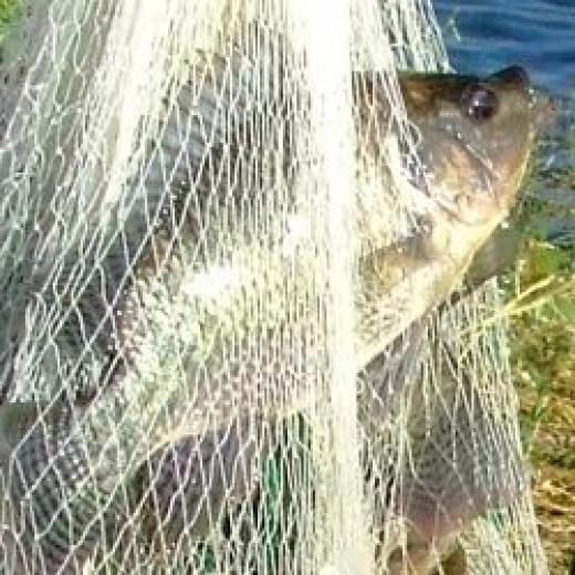 Tilapia fish farming in the philippines hubpages for Tilapia fish farming