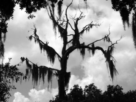 Spanish moss (ghost moss) - prevalent in The South