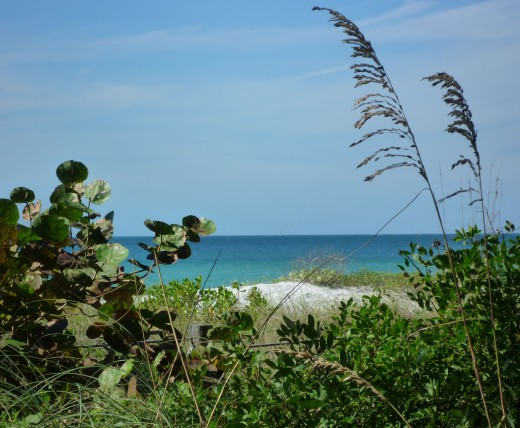 Wild sea grape and sea oats help to anchor sand dunes to limit erosion on Bradenton Beach