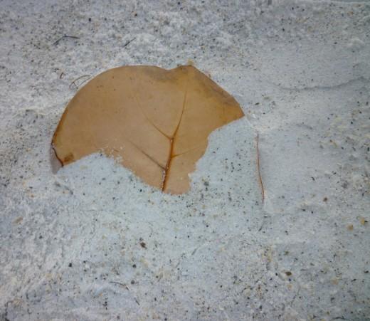 A sea grape leaf, almost buried in the talcum-powder sand