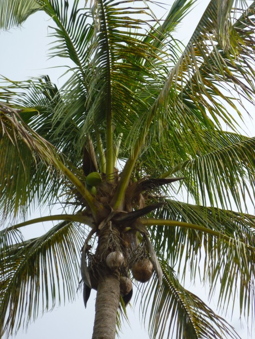 A coconut palm bears plenty of fruit in this semi-tropical oasis.