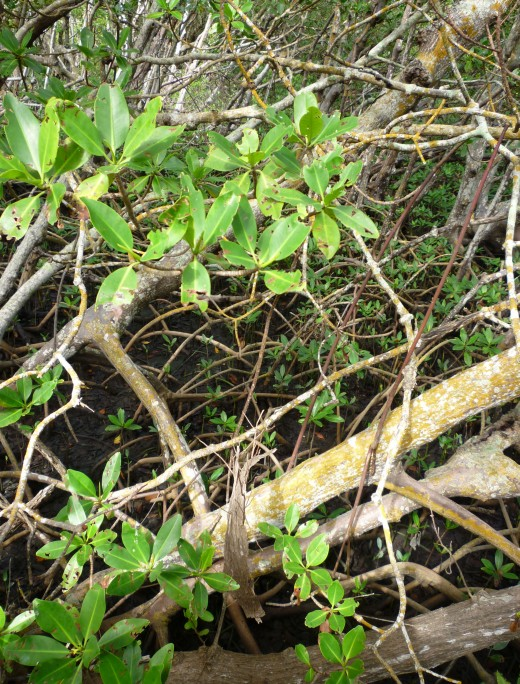 Dense mangroves, with their thick, intertwined root systems, help keep the sand from eroding, and are found throughout Lovers Key.