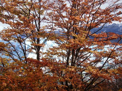 The glacier through the trees in the fall. The lenga trees turn almost red in autumn, but they don't shed their leaves.