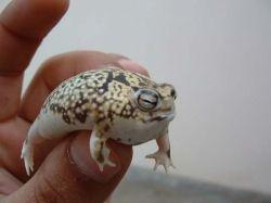 namaqua squeaky frog