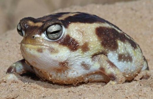rain squeaky frog