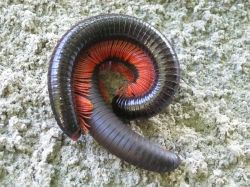 Mating millipedes