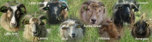 pregnant ewes 2012