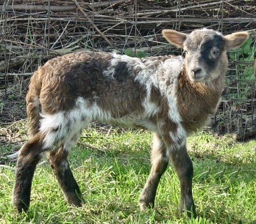 newborn lamb SusannaDuffy