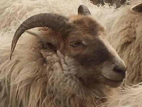 Ladymermais as an adult ewe