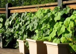 Luffa in pots google images by vegarden