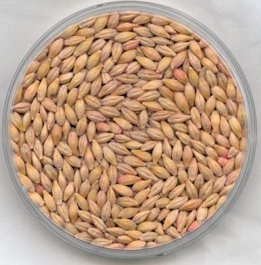 Shelled and processed barley. (image from www.alibaba.com)