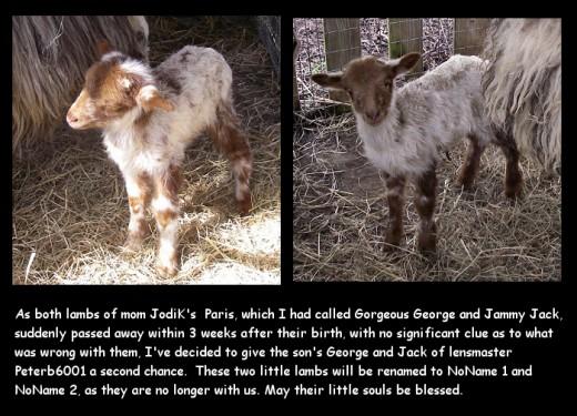 Alas both lambs died