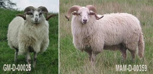 Drenthe Heathsheep Ram