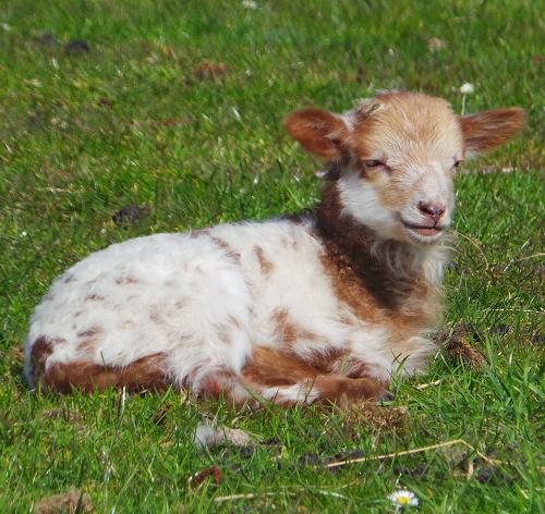 newborn fox colored lamb