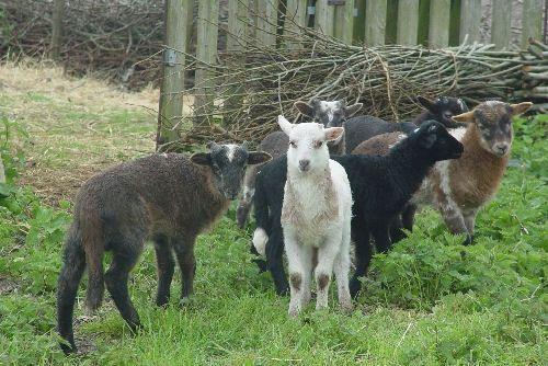 lambs: The Gang