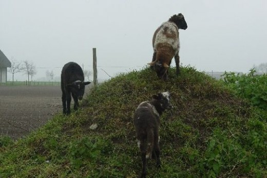 lambs: Climbing the 'Hill'.