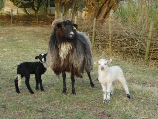 ewe with black and white lamb