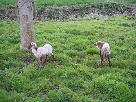 Lambs playing around