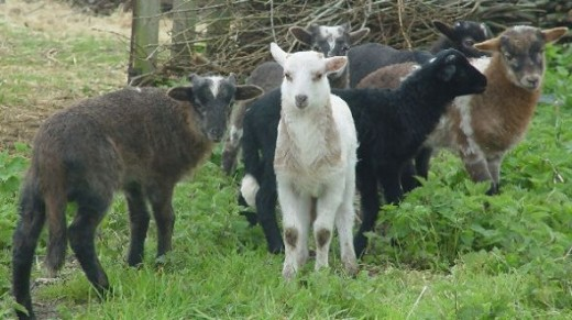 Newborn lambs of 2012