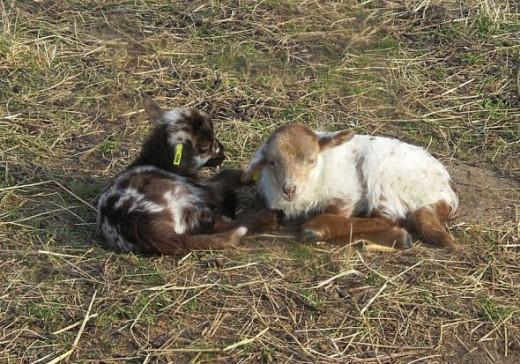 newborn lamb twins