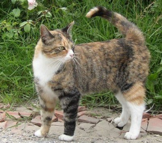 A calico tabby cat.
