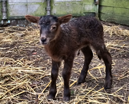 Lamb starting her life.