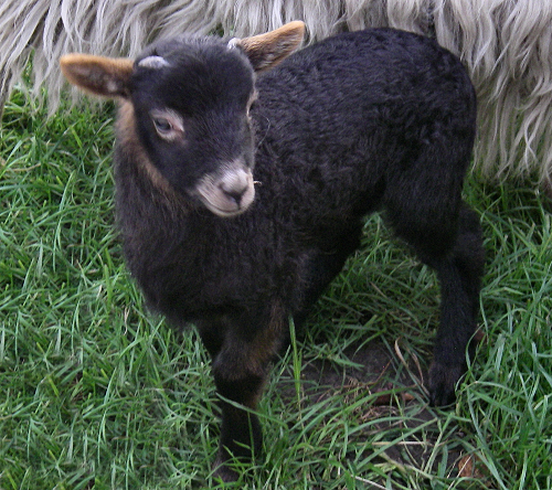 A blue fox male lamb