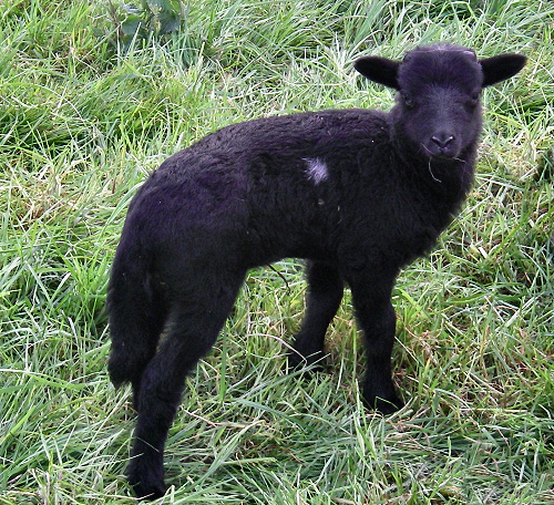 Black lamb with a white spot