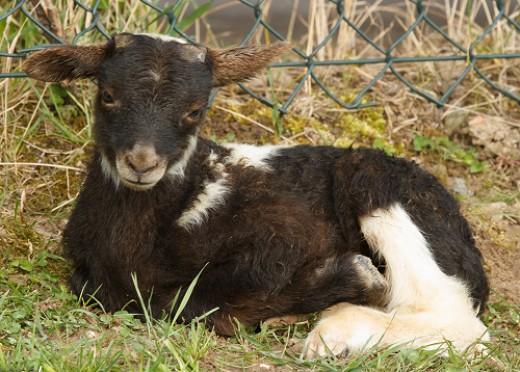 Blue-Fox spotted lamb