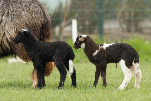 Two spotted lambs