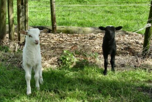 newborn lambs Puzzlemaker Pooh-MisMatch