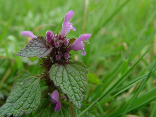The purple dead nettle is a beautiful decorative plant in your garden.