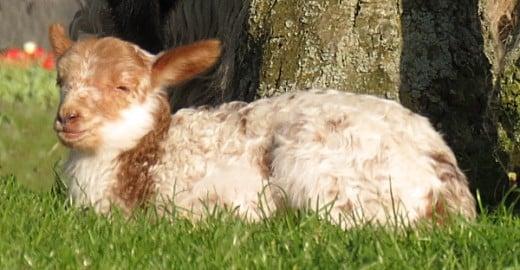 Lamb resting in sunshine