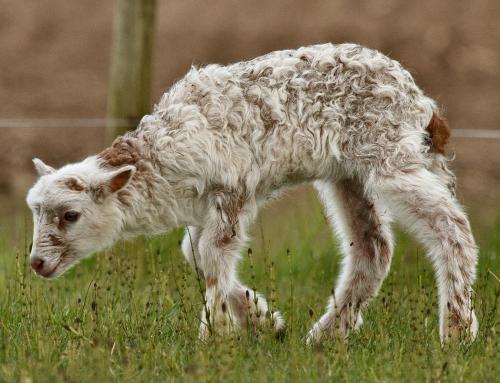 Lamb Gorgeous George exploring the world