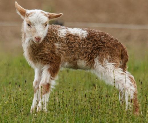 I am the cutiest lamb