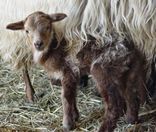 female lamb
