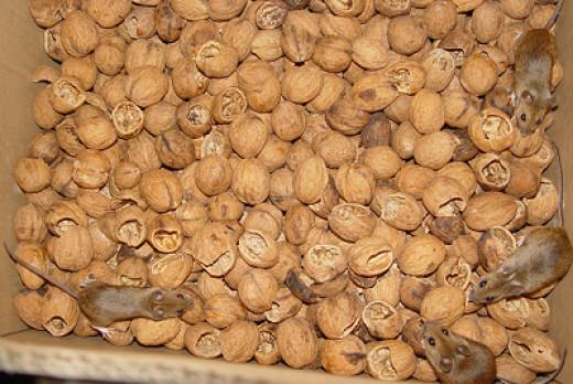 Four mice in my walnuts