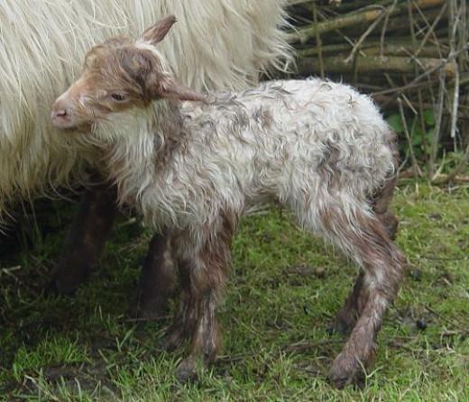 newborn lamb Lexi