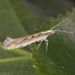 Biological Control of the Diamond-Back Moth
