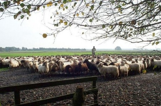 Drenthen Heathsheep herd